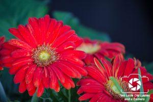 Red Shasta Daisy