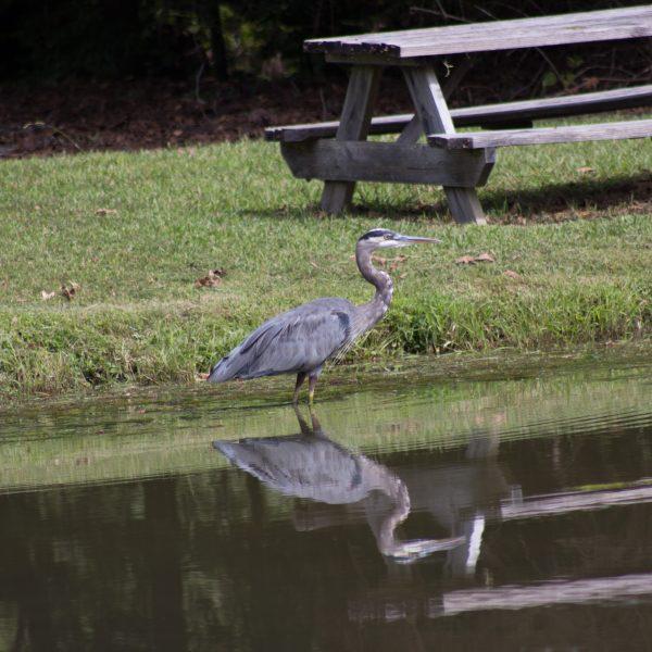 The Resident Heron