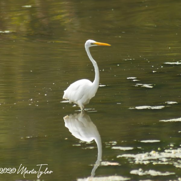 Egrets and Turtles